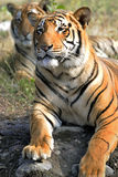 Tiger couple royalty free stock photos