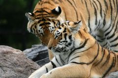 Tiger Couple. A pair of Siberian Tigers Stock Images