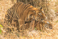 Tiger couple(Panthera tigris). Beautiful golden brown tiger resting in the forest of Bennerghatta,india Stock Photos