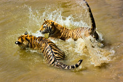 Tiger couple playing. In water Royalty Free Stock Photos