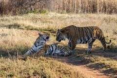 Tiger couple in game reserve in south africa. Tiger couple in the Tiger Canyons Game Reserve in South Africa stock image