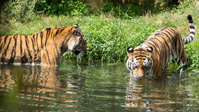 Tiger (Couple) Royalty Free Stock Photography