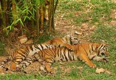 Tiger couple Royalty Free Stock Photos
