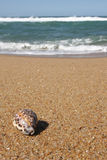 Tiger Cowrie Shell. On a Sea landscape - sea, golden beach, the blue sky stock photo