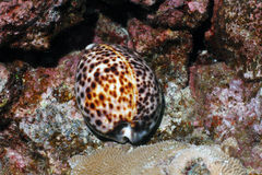Tiger Cowry Stock Photo