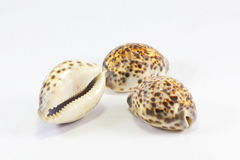 Tiger Cowry Royalty Free Stock Photography