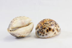 Tiger Cowry Royalty Free Stock Photo