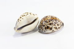 Tiger Cowry Stock Photos