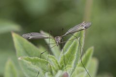 Tiger cranefly portrait. Hanging from between stems royalty free stock photography
