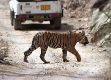 Tiger cross the road Stock Image