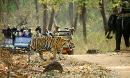 Tiger Crossing A Road In Kanha Royalty Free Stock Photography