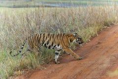 Tiger Crossing die Straße an Tadoba-Tiger-Reserve Maharashtra, Indien stockbilder