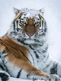 Tiger in snow winter forest. The tiger crouched in the snow winter forest seeing the next production stock photography