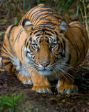 Tiger - Crouching. Young female Sumatran tiger, Binjai, crouching, ready to pounce Stock Photos