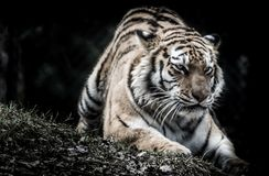 Tiger. Crouching tiger ready to pounce Royalty Free Stock Photos