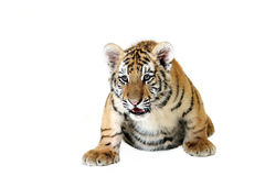 Tiger Cub. Studio portrait of a Siberian Tiger Cub against a white background Stock Image