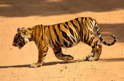 Tiger cub. This four months old tiger cub is crossing the road for a waterhole Stock Image