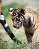 Tiger Cub. Looking at mum tail Royalty Free Stock Images
