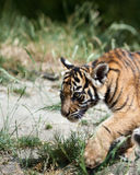 Tiger Cub Stockbilder