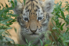 Tiger cub. Prudent tiger-cub studies locality Royalty Free Stock Photography