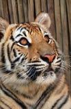 Tiger cub Stock Photos