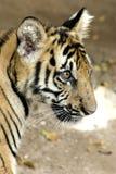 Tiger cub. A siberian and bengal mixed tiger cub Royalty Free Stock Photos