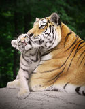 Tiger with a cub. Loving tiger with its cub royalty free stock photos