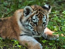 Tiger Cub Royalty-vrije Stock Foto's