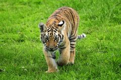 Tiger Cub Image stock
