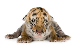 Tiger cub (4 days) Royalty Free Stock Photos