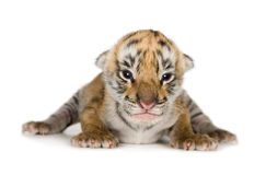 Tiger cub (4 days). In front of a white background royalty free stock photo