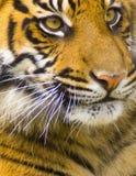 Tiger Cub. Bengal cub face captured close-up Royalty Free Stock Photography