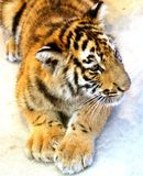 Tiger Cub. A tiger cub laying on the ground Stock Photo