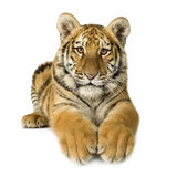 Tiger cub (5 months). In front of a white background Royalty Free Stock Images