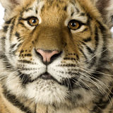 Tiger cub (5 months). In front of a white background Stock Images