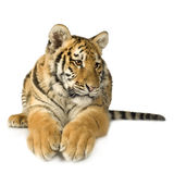 Tiger cub (5 months) Royalty Free Stock Photo