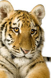 Tiger cub (5 months). In front of a white background Royalty Free Stock Image