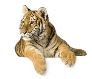 Tiger cub (5 months). In front of a white background Stock Image
