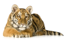 Tiger cub (5 months). In front of a white background Royalty Free Stock Photo