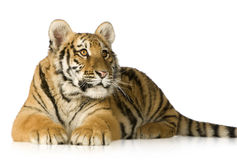 Tiger cub (5 months). In front of a white background Stock Photo