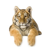 Tiger cub (5 months). In front of a white background Stock Photos
