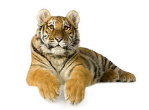 Tiger cub (5 months). In front of a white background Royalty Free Stock Photography