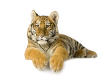 Tiger cub (5 months). In front of a white background Stock Photography