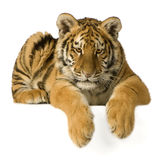 Tiger cub (5 months) Stock Image