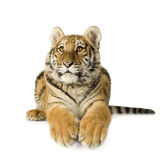 Tiger cub (5 months) Royalty Free Stock Photography