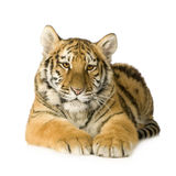 Tiger cub (5 months). In front of a white background Royalty Free Stock Photos