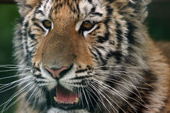 Tiger Cub. Closeup of a Siberian Tiger cub with his mouth open Stock Photography