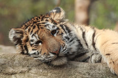 Tiger Cub Royalty Free Stock Photos