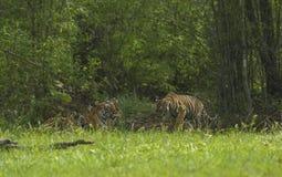 Tiger Cub approaching mother at Tadoba Tiger reserve Maharashtra,India. Asia royalty free stock image