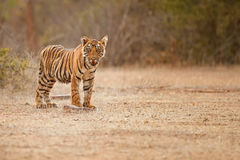 Tiger cub in a beautiful golden light in the nature habitat of Ranthambhore National Park royalty free stock photography